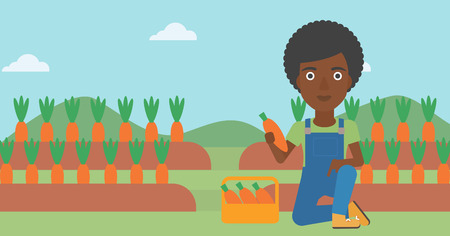 An african-american woman collecting carrots in basket on the background of field vector flat design illustration. Horizontal layout.