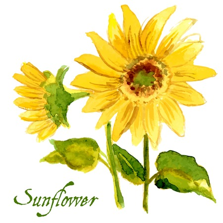 sunflower seed: rThe composition of yellow sunflower painted in watercolor for your design