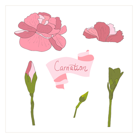 illustration carnationflower/Spring carnation flower/Greeting card carnation flower/Summer composition carnation flower/Spring carnation flower/Garden carnation flower/Beautiful carnation flower/Delicate carnation flower
