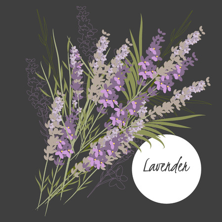 lavender: Illustration with beautiful flowers lavender. Vector