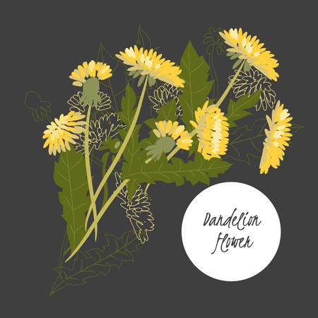 dandelion flower: illustration Dandelion flower