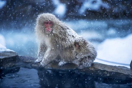 Snow Monkey, Nagano, Japan photo