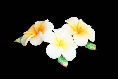 candle flower on black - Frangipani  plumeria  photo