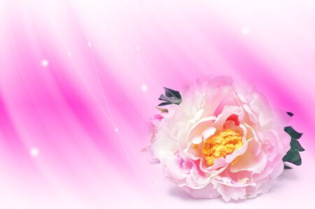 abstract pink line background  and rose            photo