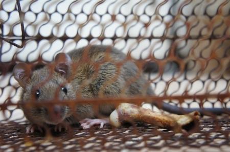 little rat in trap photo