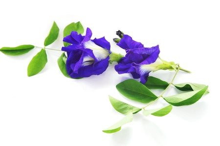 Butterfly pea on white background                   photo