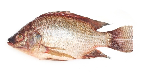 fresh raw Tilapia fish on white background photo