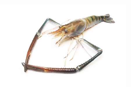 rosenbergii: Giant Freshwater Prawn  on white background Stock Photo