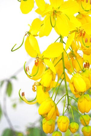 cassia: yellow flower of Golden shower (Cassia fistula)