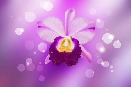 cattleya: purple cattleya orchid on sweet background