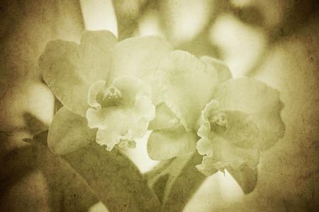 cattleya: Cattleya orchid in grunge vintage style