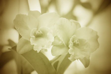 cattleya orchid: Cattleya orchid flower in soft color