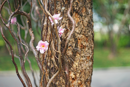creeping plant: artificial cherry blossom on nature creeping plant