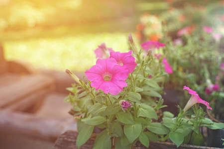 petunias: pink petunia flowers in garden Stock Photo