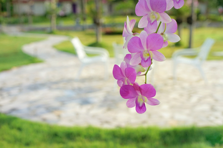 clam gardens: Dendrobium orchid on blurred outdoor chairs background in garden