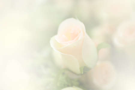 de focus: blurred sweet artificial rose useful for background Stock Photo