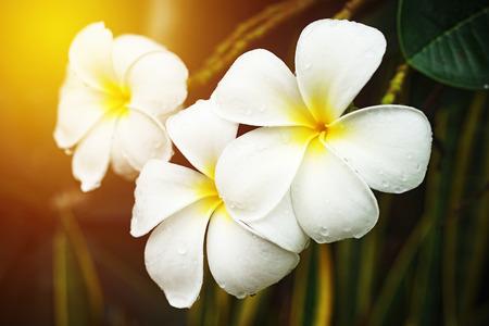kropla deszczu: white plumeria with raindrop Zdjęcie Seryjne