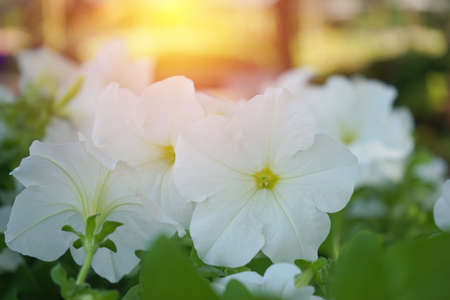 white petunia flower with morning light Stock Photo