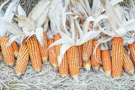 yellow corn: group of dry yellow corn on straw in barn house Stock Photo