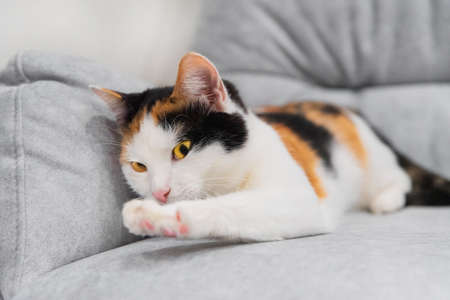 Cute little tricolor shorthair kitten tricolor kitten sharpens claws on gray chair. Bad pets behavior. Cat lying on the sofa and scratching nails Imagens