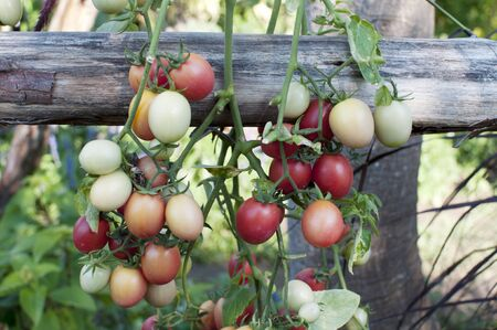 Growing tomatoes in the garden photo