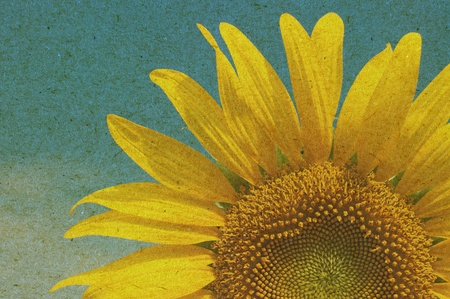 sunflower on old paper texture background  photo