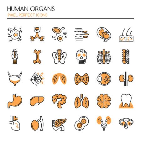 Órganos Humanos. Ilustración de vector