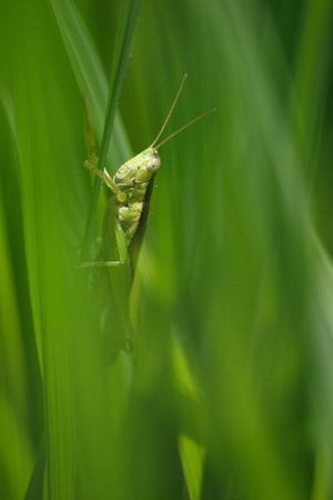 acrididae: The Grasshopper on the rice leaf. Stock Photo