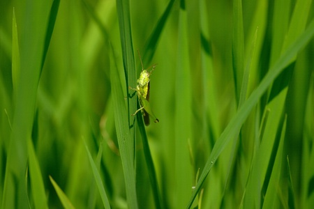 acrididae: The Grasshopper on the rice leaf, wild view. Stock Photo