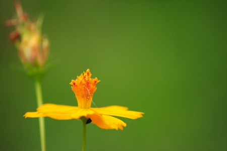 effloresce: The Yellow Comos on blur background. Stock Photo