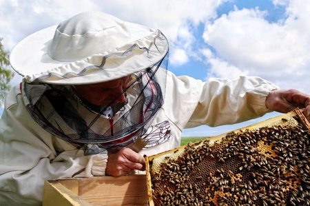 Working apiarist and  frame with bees.