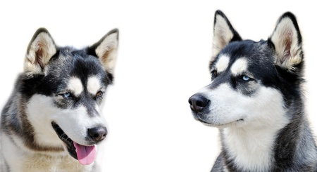 Two young dogs with different eyes. Stock Photo