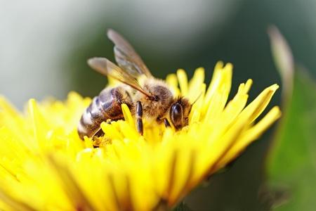 Bee bezig met gele paardebloem.  Stockfoto