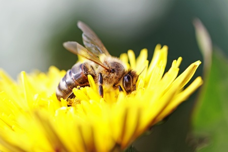 Bee working on yellow dandelion.  Standard-Bild
