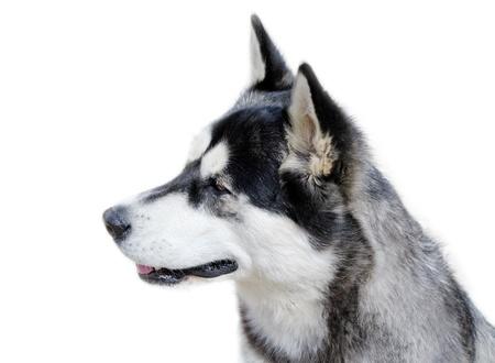 Profile of young husky dog. photo