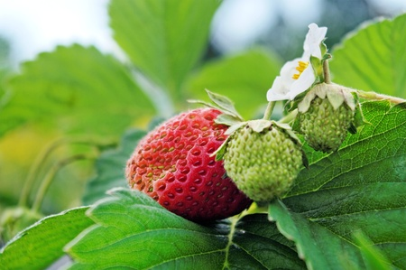 Growing strawberries on the field. Banque d'images - 9958114