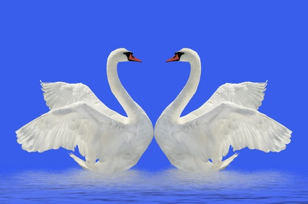 swan pair: Two swans on the blue surface. Stock Photo