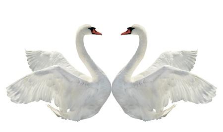 Deux cygnes sur le blanc. Banque d'images - 10034770