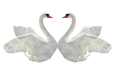 Two swans on the white. Stock Photo