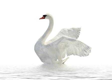 Swan on the white surface. Standard-Bild