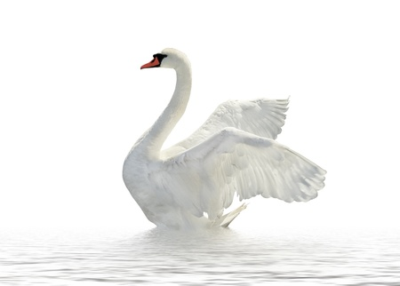 water birds: Swan on the white surface. Stock Photo
