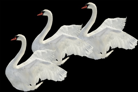 Flying swans on the black surface.
