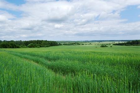 Growing wheat on the wide field. Stockfoto