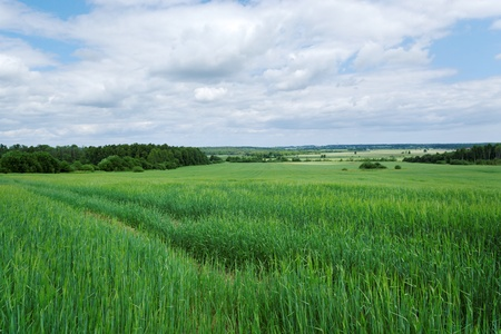 Growing wheat on the wide field. Stock Photo