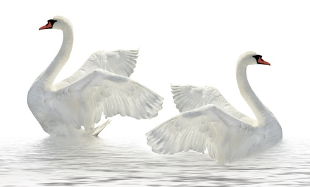 swan pair: Two swans on the white  surface. Stock Photo