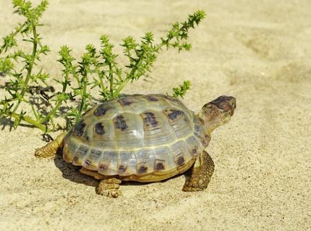adult footprint: Adult turtle is walking on a sand.