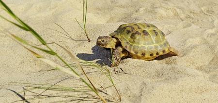 adult footprint: One turtle walking on a sand.