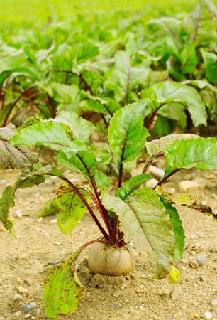 Beet plants on the country field. photo