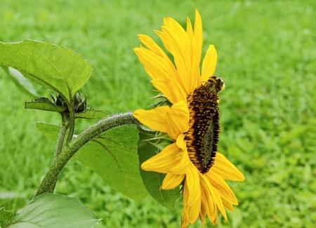Bumblebee is landing on the sunflower. photo