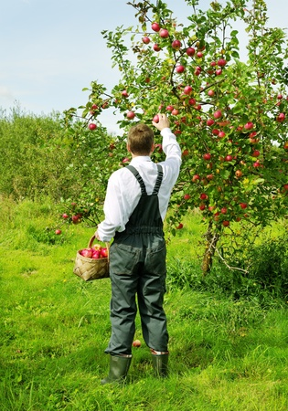 apples basket: Man is picking off an apple from the appletree. Stock Photo